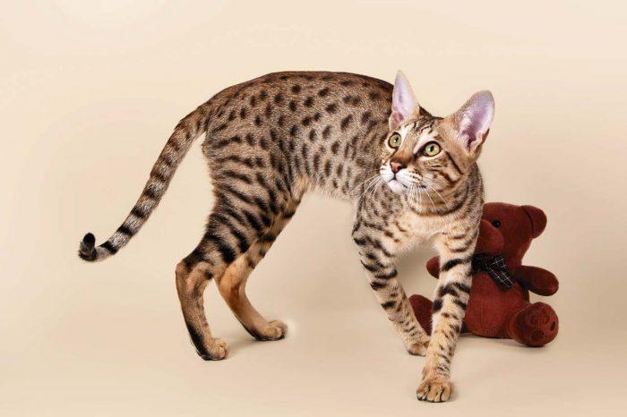 Кошка породы Саванна и мягкая игрушка