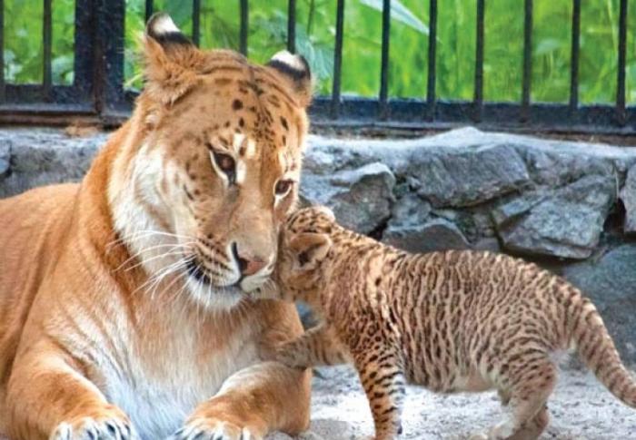 Тигон с детёнышем