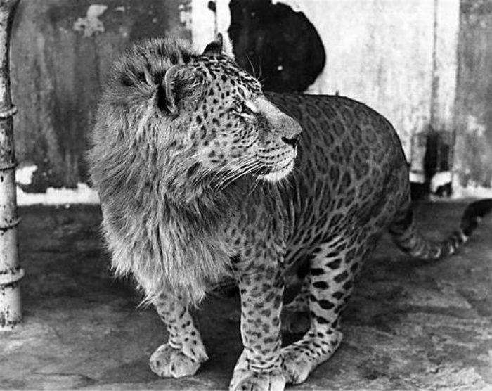 Чёрно-белое фото Леопона
