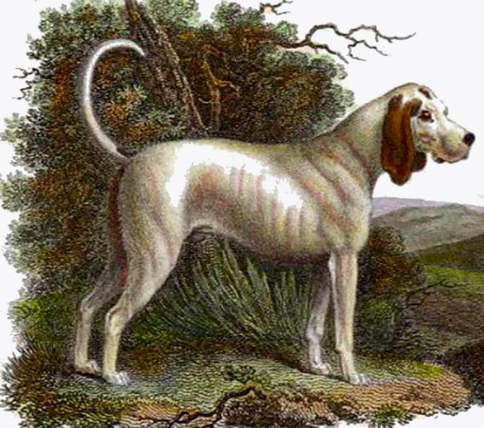 Собака породы Талбот