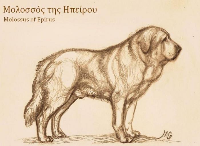 Собака породы Молосс — потомок Талбос