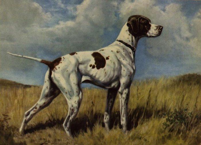Порода собаки Бракк Дюпюи