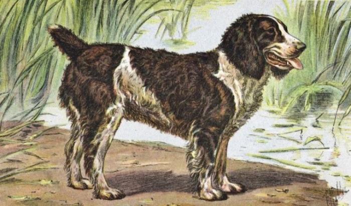 Вымершая порода собак Английский водяной спаниель