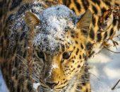 Ветеринары борются за жизнь раненого молодого леопарда в Приморье