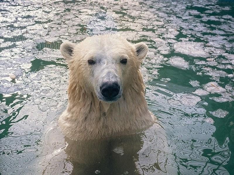 Белые медведи из Красноярского зоопарка пустились в плавание