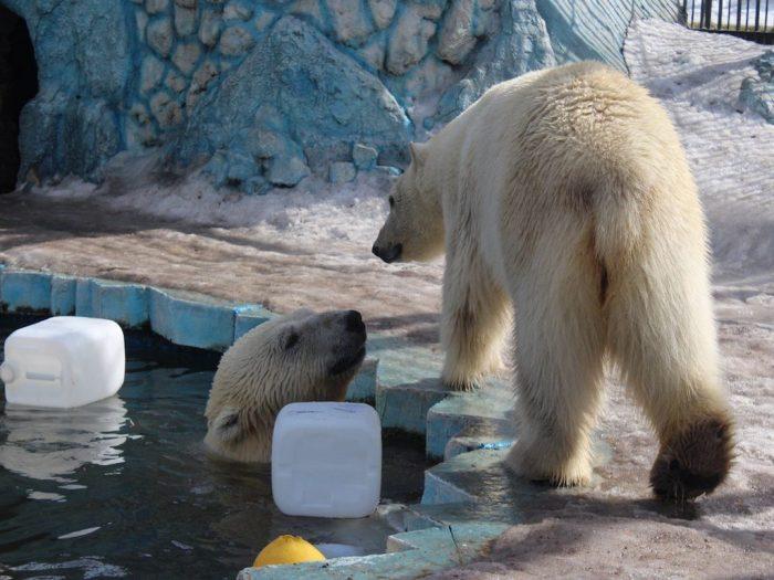 Игры белых медведей