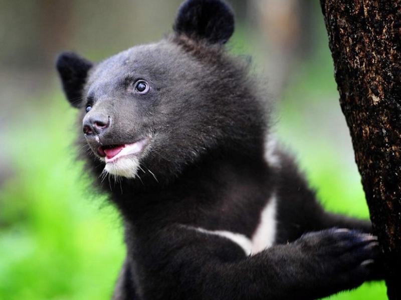 В зоопарке Барнаула на свет появились гималайские медвежата-двойняшки