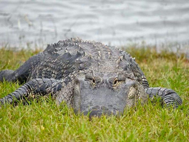 Крокодил Ларри полюбился жителям Флориды и стал звездой интернета