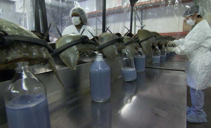 Мечехвосты в лаборатории
