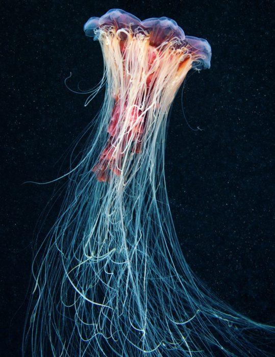 Большая медуза