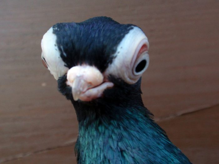 Будапештский короткоклювый голубь