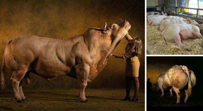 Бельгийские голубые коровы