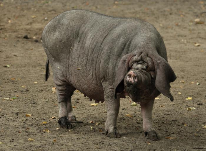 Мэйшаньские свиньи