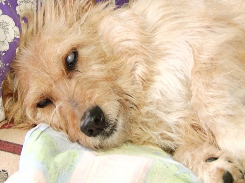 15-летняя собака Веста вернулась домой после трёх месяцев блужданий