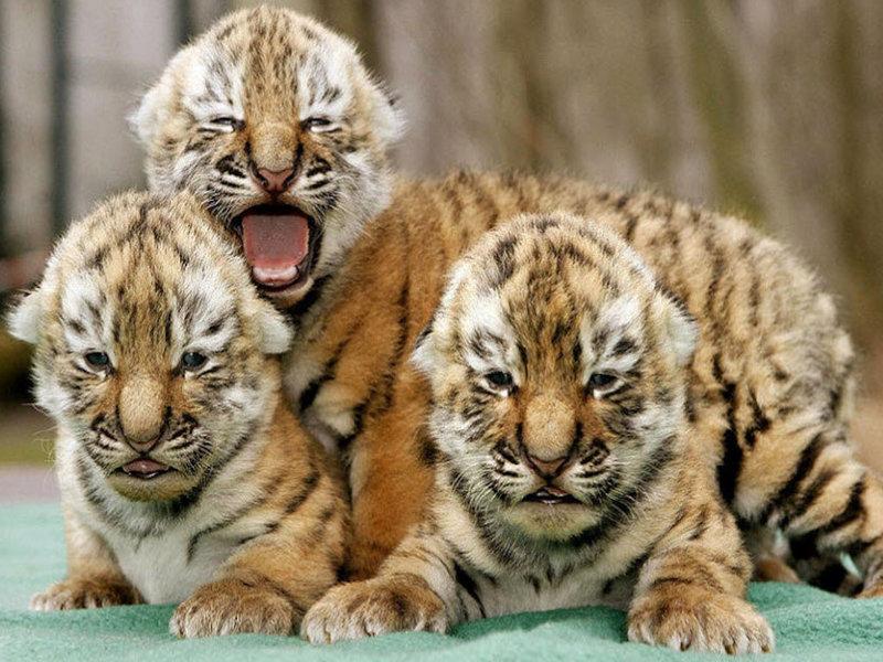 Работники зоопарка в провинции Хэнань показали публике новорождённых тигрят