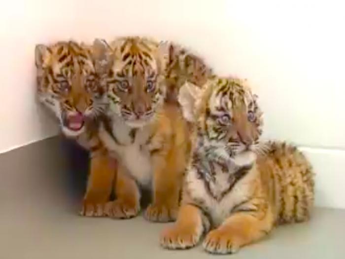 Детёныши южно-китайского тигра