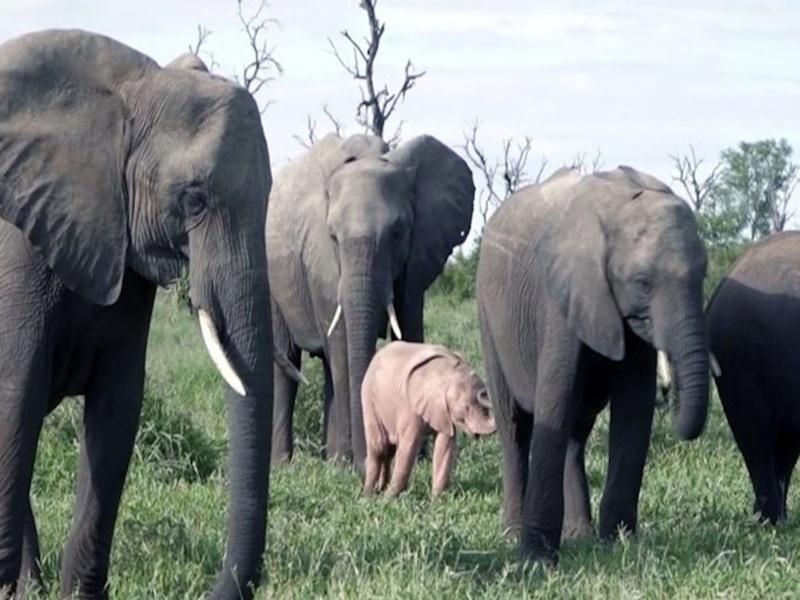 В Южноафриканском природном заповеднике рейнджеры засняли розового слона