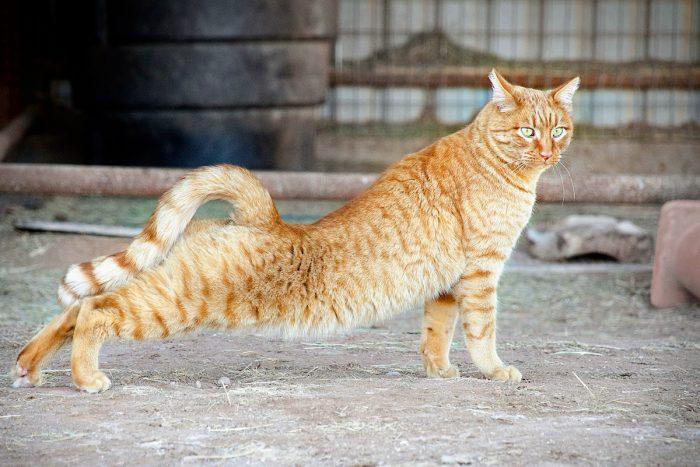 Рыжий кот потягивается на улице