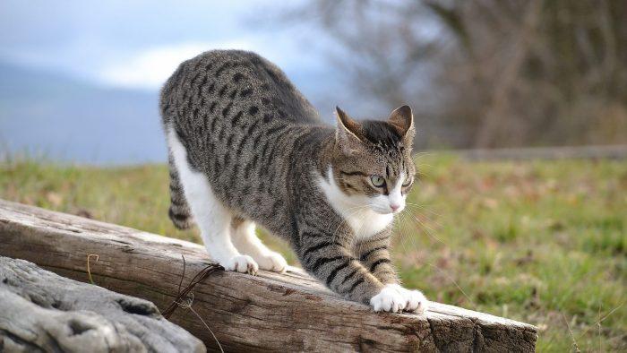 Кот потягивается перед охотой