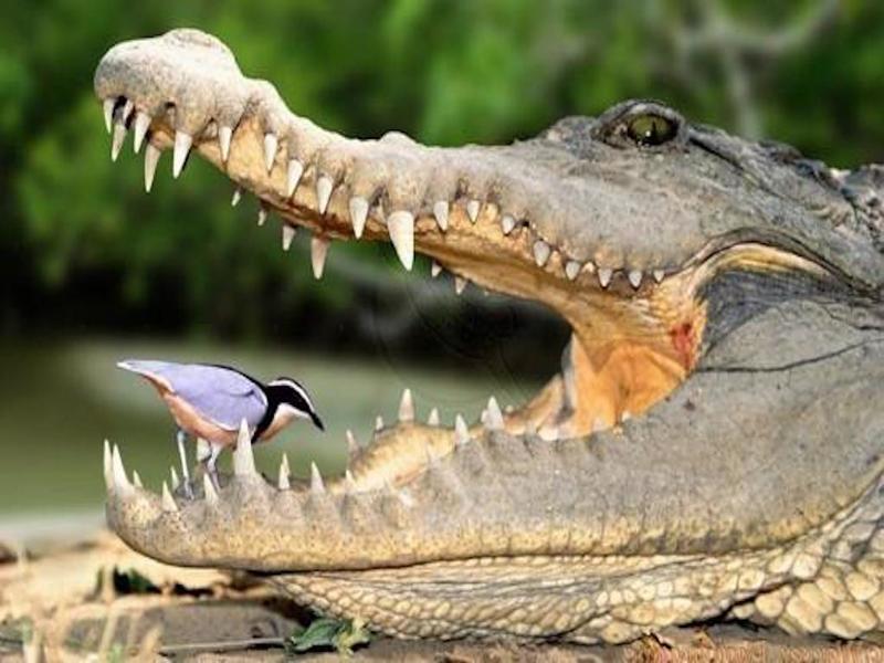 Смелый ребёнок профессионально чистит зубы крокодилу