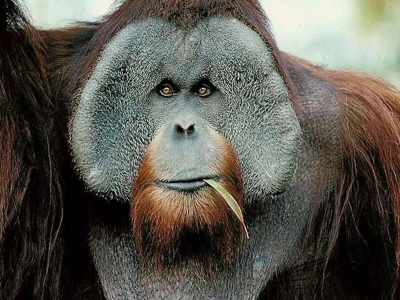 Самка орангутана смогла выжить после многочисленных пулевых ранений
