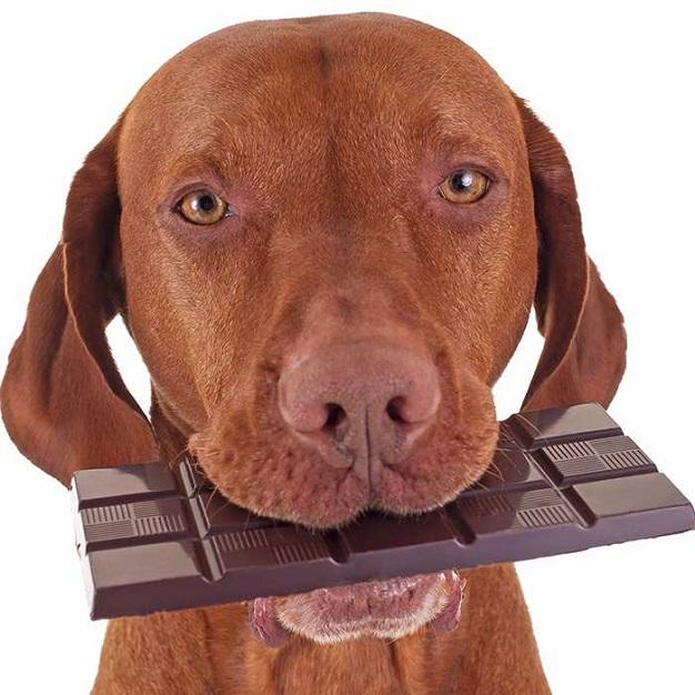 Собака с шоколадкой