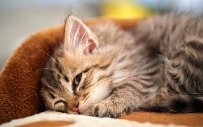 Сонный пушистый котёнок