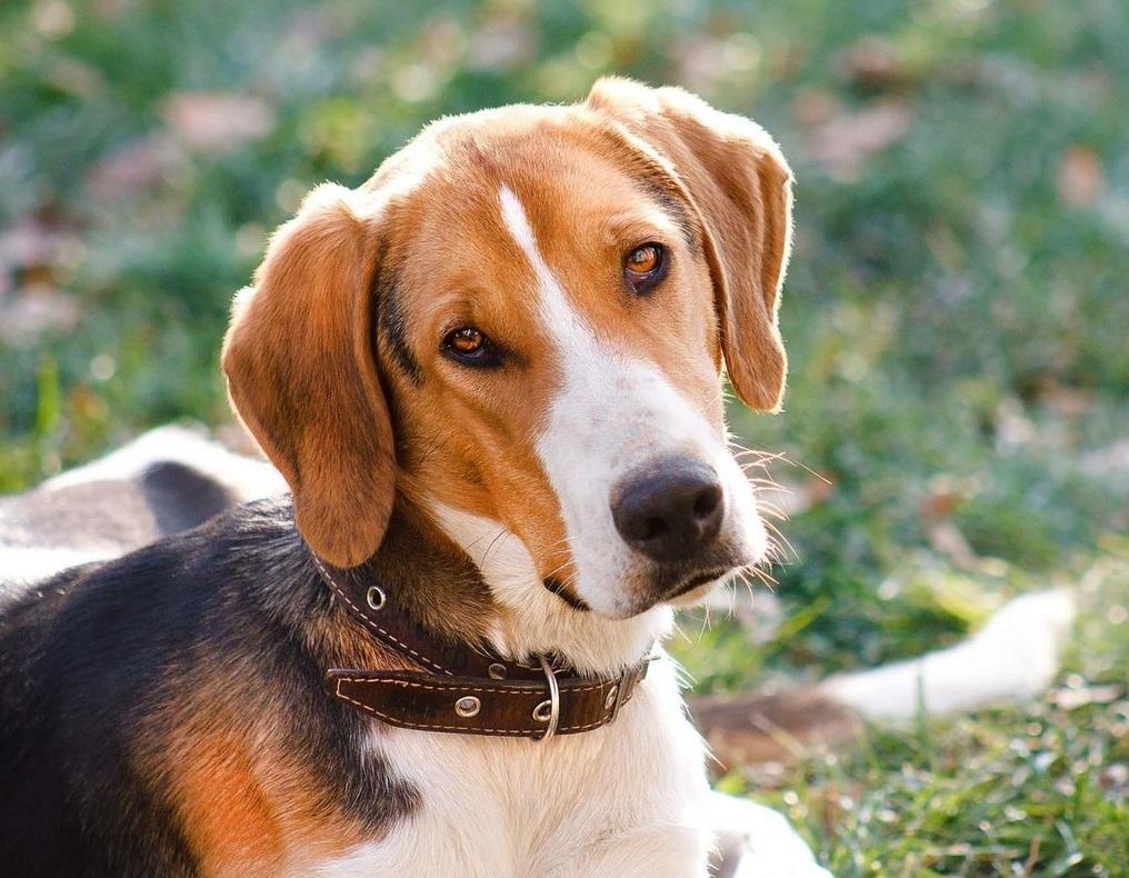5 красивых пород собак, выведенных в России, но непризнанных в мире
