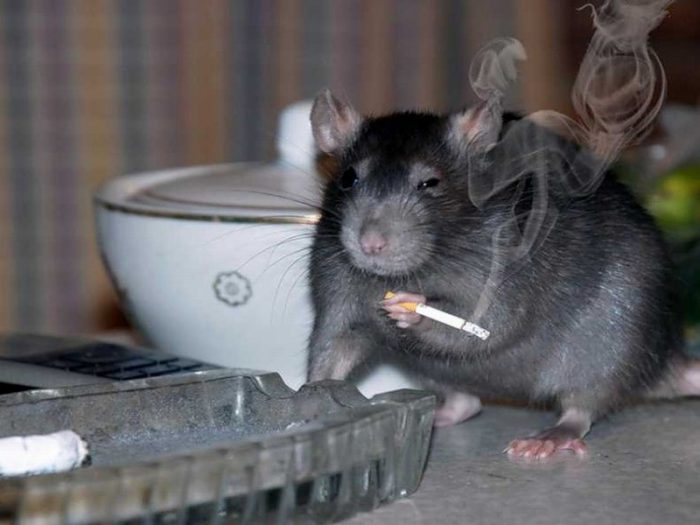 Крыса на кухне