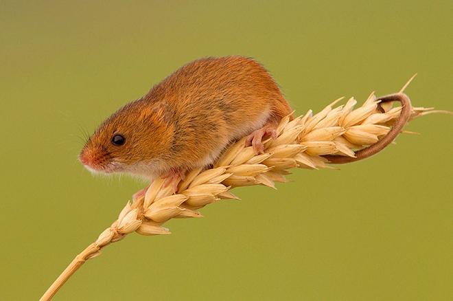 Мышь-малютка на колоске