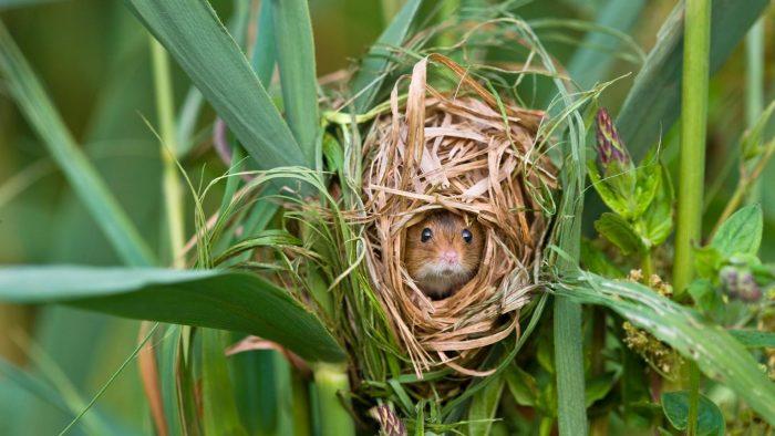 Жилище мыши-малютки