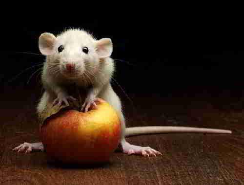 Белая мышь с яблоком