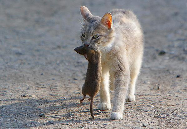 Кошка несёт в зубах мышь