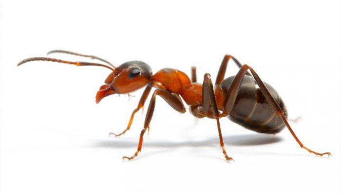 Рыжий домашний муравей