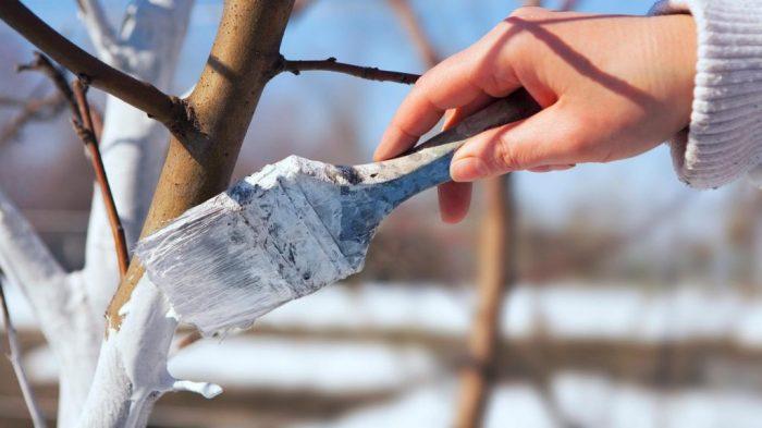 Кистью красят ствол дерева известью
