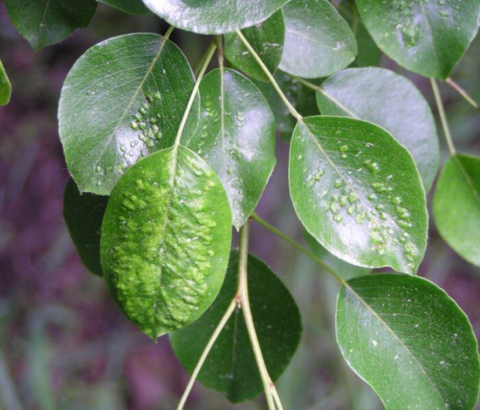 Галлы на листьях