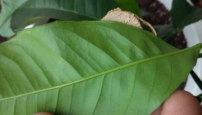 Следы от паутинного клеща на листе лимона