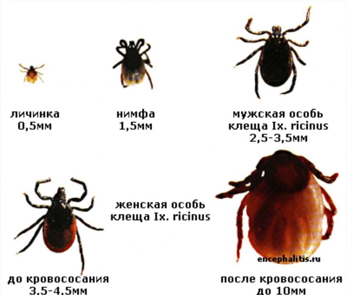 Личинка, нимфа, взрослые особи клещей до и после питания