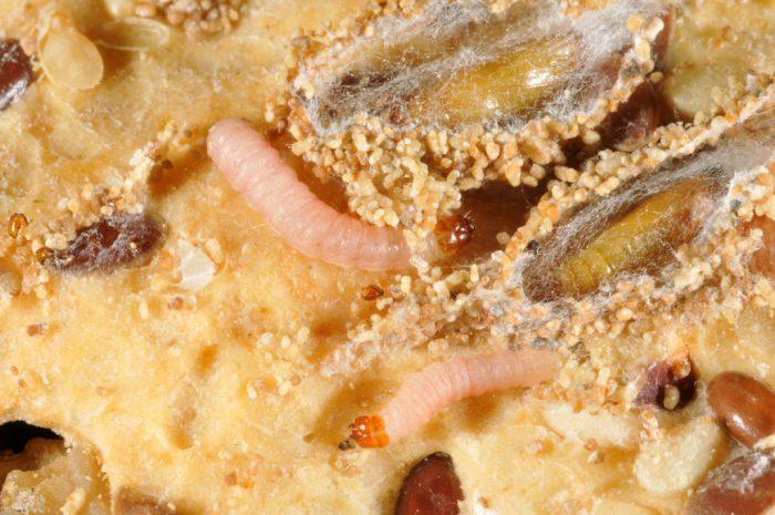 Личинки пищевой моли в продуктах