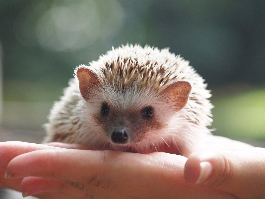 Осторожно, злой ёж: 5 самых популярных экзотических домашних животных