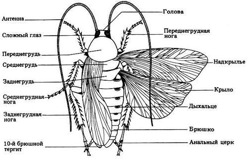 Строение тела рыжего таракана