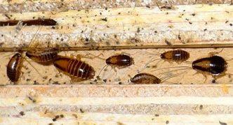 Личинки прусака разного возраста