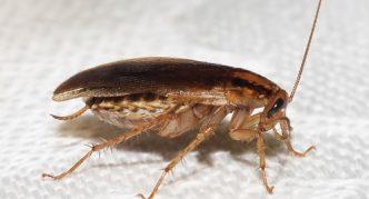 Самец таракана