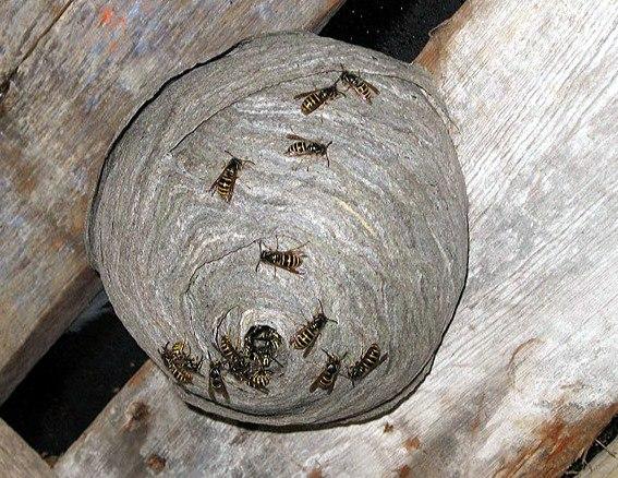 Осиное гнездо на досках
