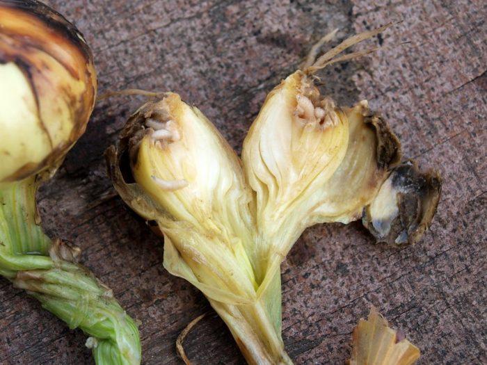 Луковица, поражённая вредителями