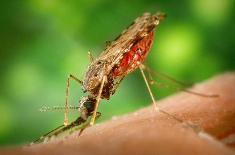 Малярийный комар место обитания