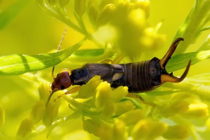Уховёртка на растении