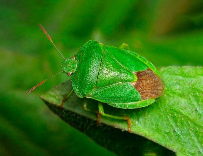 Клопы — большая история маленьких насекомых