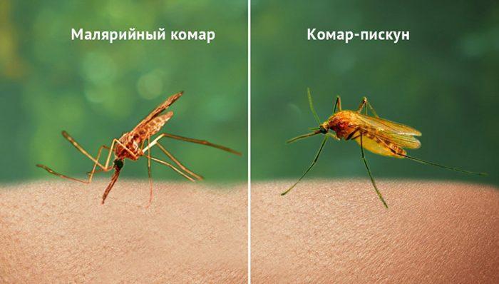Малярийный и обычный комар