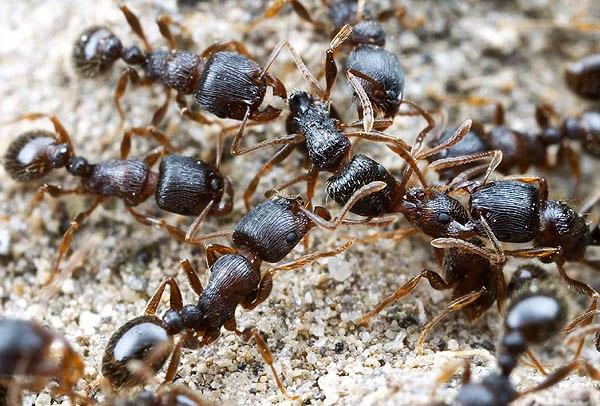 Чёрный дерновый муравей